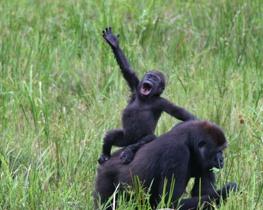 T1.home.lowland.gorilla2.ap (2)
